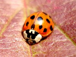 autumnal ladybug by Dieffi