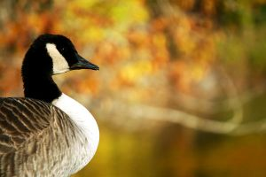 Canadian Goose - Profile by incolor16