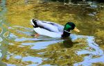 Duck by FrancescaDelfino