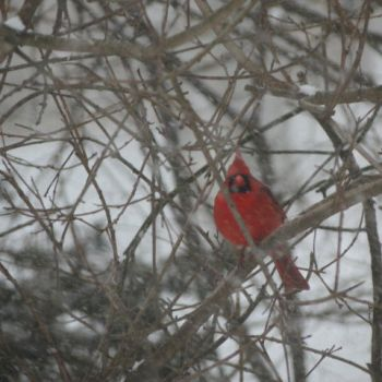 Winter Cardinal by Heirzrponxui