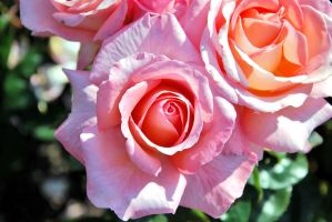 Rose collection 2 by Aishlling