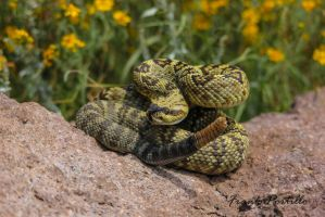 True Black Tailed Rattlesnake (Crotalus molossus) by achillesbeast