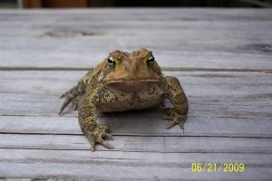 Toad 3 by Salamander-Stock