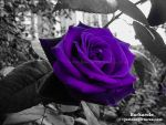 Purple Rose by TerryPotter
