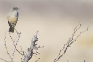 Say's Phoebe by PatGoltz