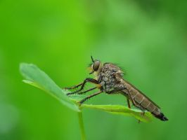Robber fly I by benas1971