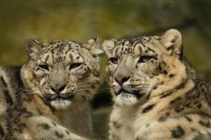 Shearwater - Snow Leopard by PASOV