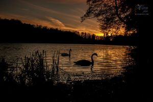 Swans by mironphoto