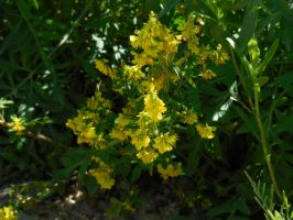 Yellow Sweet Clover by Sanluris