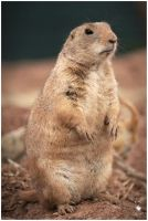 Prairie Marmot - Two - by Pixie-Arts