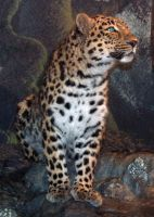 Denver Zoo 46 Leopard by Falln-Stock
