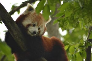 Red Panda by Just-the-way-Im-not