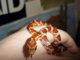 Corn snake hatchlings: Chai by Jovamabob