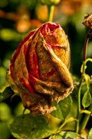 Dry Rose by SchenkiJr