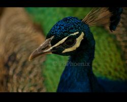 Portrait of a Peacock by PBPhoenix