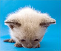 Big-head kitten by hoschie
