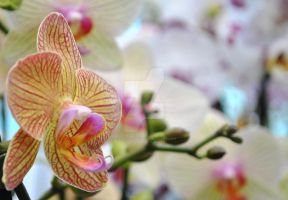 orchid VII by AnAntichrist11