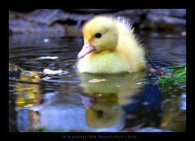 Very little duck by haeresis