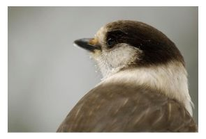 Gray Jay by Shmithers
