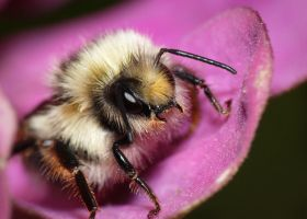 Fuzzy Bee Face by shawnstorm