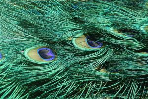 Peacock Feathers Detail by artbyjpp