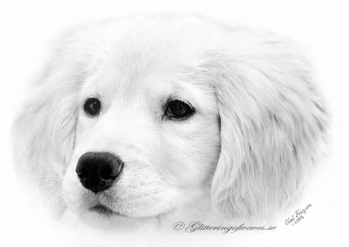 Golden Retriever Puppy by WaveGlistening