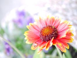 Red and yellow marigolds. by asaluiphotography