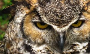 Bengal Eagle Owl 2 by simi875