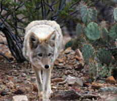 Coyote 5337 by mammothhunter