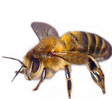 Bee2 by lubman