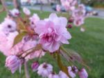 Blossoms by Amatao