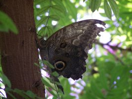 Brown Butterfly by Amf624