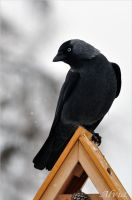 Bird Album- Jackdaw by Alvia