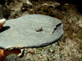 Grasshopper on a rock by LetoCrows
