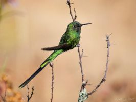 Green-tailed Trainbearer by perubirder