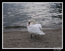 Swan on the beach by MetalLara