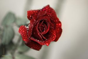 Red rose and raindrops by maxisoft