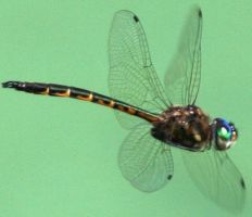 DRAGONFLY FLYING by LESHA
