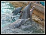Dolphin Feeding Time by caybeach