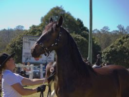 STOCK Canungra Show 2013-126 by fillyrox