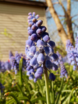 Grape hyacinth by silivrensf