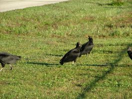Vultures 056 by TheGreatWiseAss
