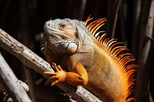 Iguana by secondclaw