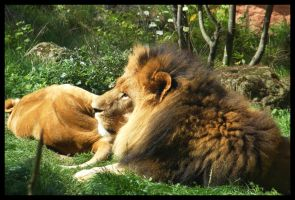 The Lion's lazy today by Leichenengel