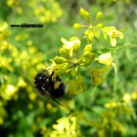 bumble bee by WiKkASs