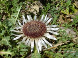 silver thistle by TanteTabata