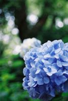 Hortensia_01 by freyiathelove