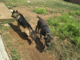 German sheperd and cane corso by FuriarossaAndMimma