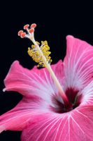 Close Hibiscus by Chiller252