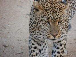 Leopard by SplashKittyPhotos